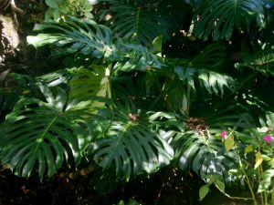 Monstera in yard