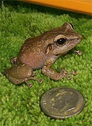 Coqui (Ko-kee) Frogs are only the size of a quarter but their voice is large!