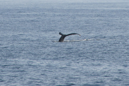 Prime Whale Watching in Lower Puna (2/3)